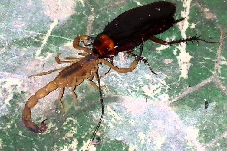escorpião amarelo se alimenta de baratas presentes na rede de esgoto e fossas