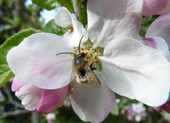 abelha vermelha flor de maçã