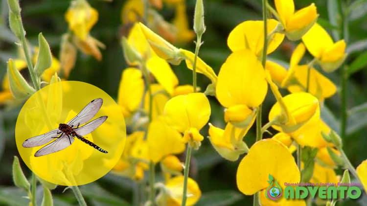 flor e libélula podem repelir o mosquito da dengue